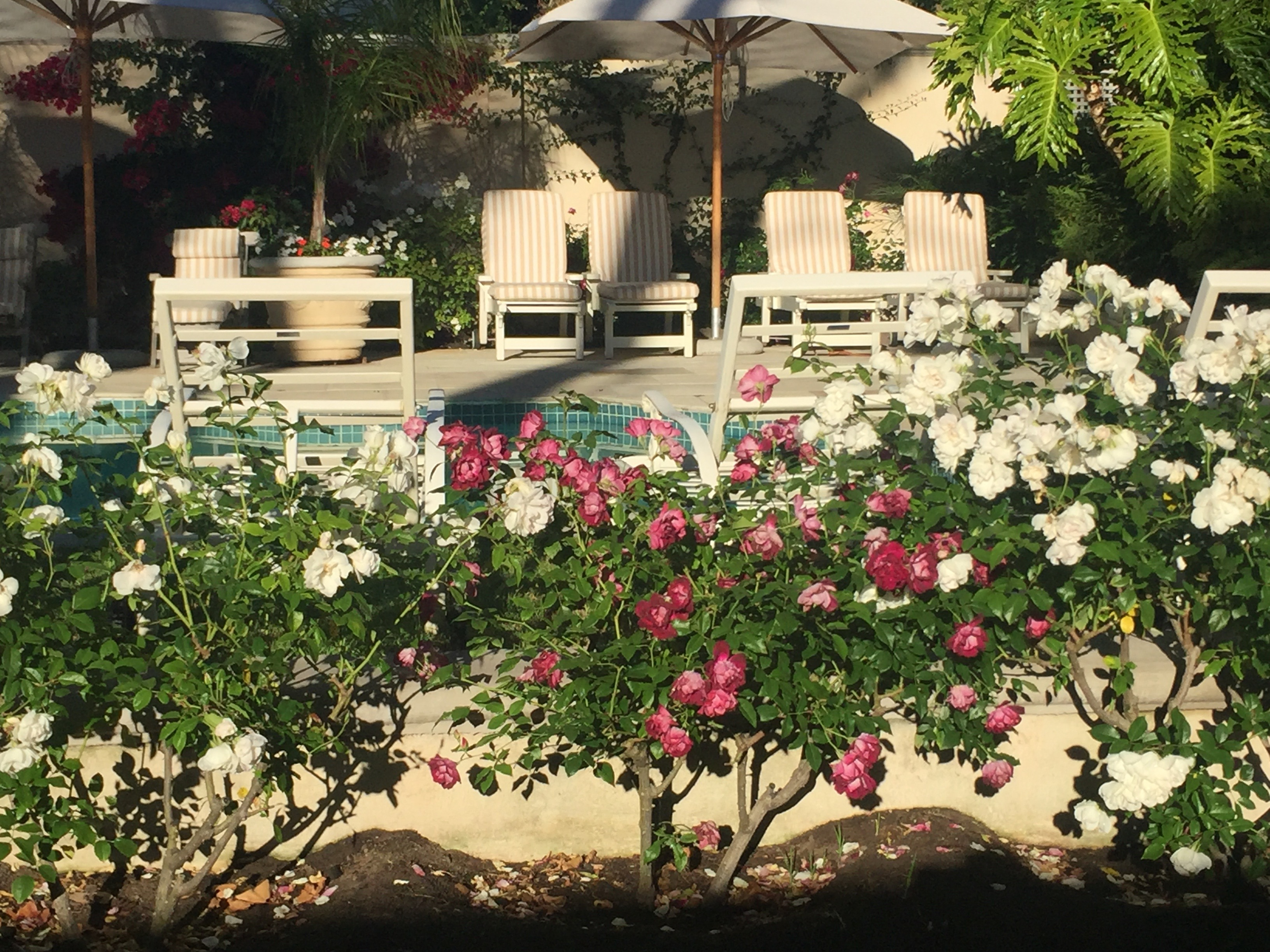 Poolside roses: CVL - CONSTANTIA VALLEY LODGE